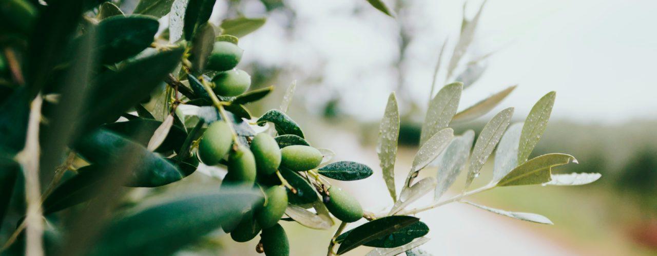 Teramo Ambiente Calendario.La Raccolta Come Una Volta Delle Olive Il 4 Novembre